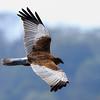 Marsh Harrier Powai Lake Mumbai