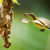 Olive Backed Sunbird (female) making a home