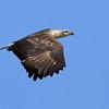 White Bellied Sea Eagle