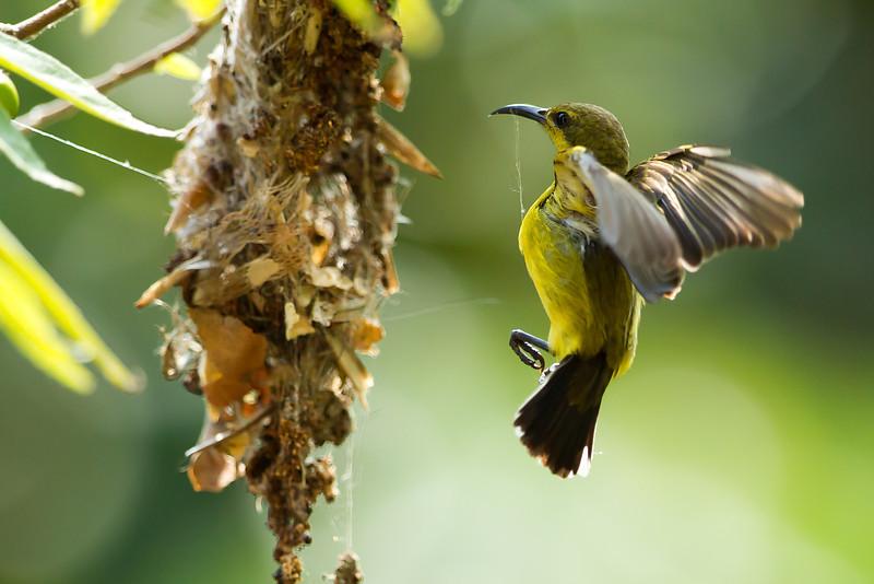 Olive Backed Sunbird (female)