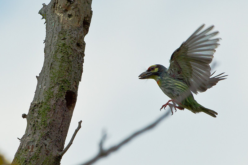 Coppersmith Barbet with food