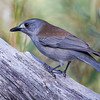 Shrike Thrush