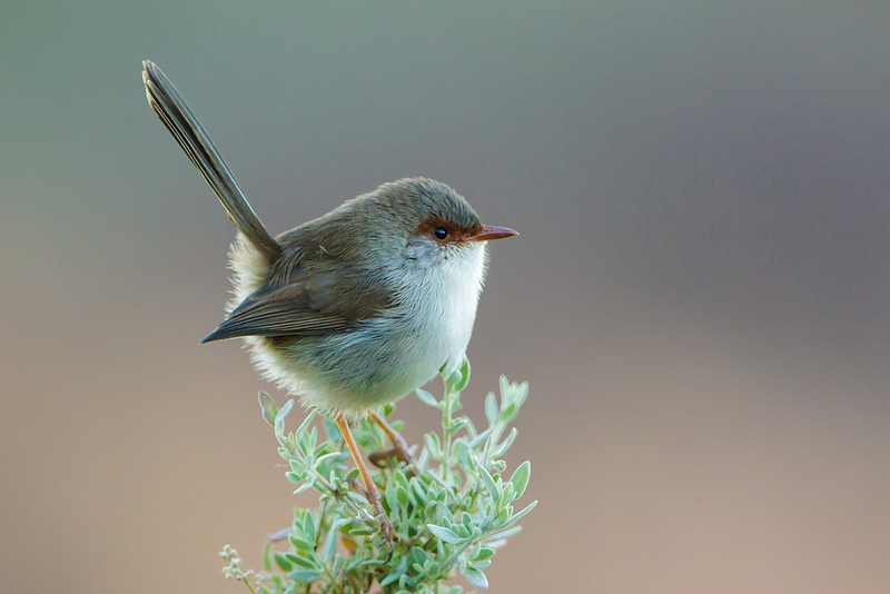 Superb Fairy Wren (female)