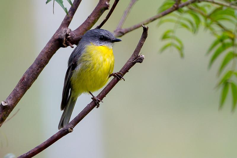 Eastern Robin