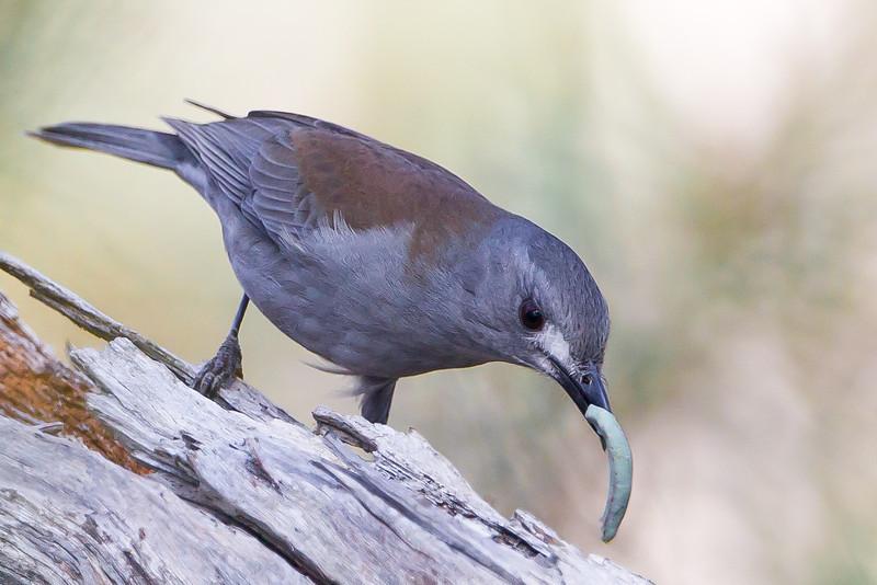 Shrike Thrush