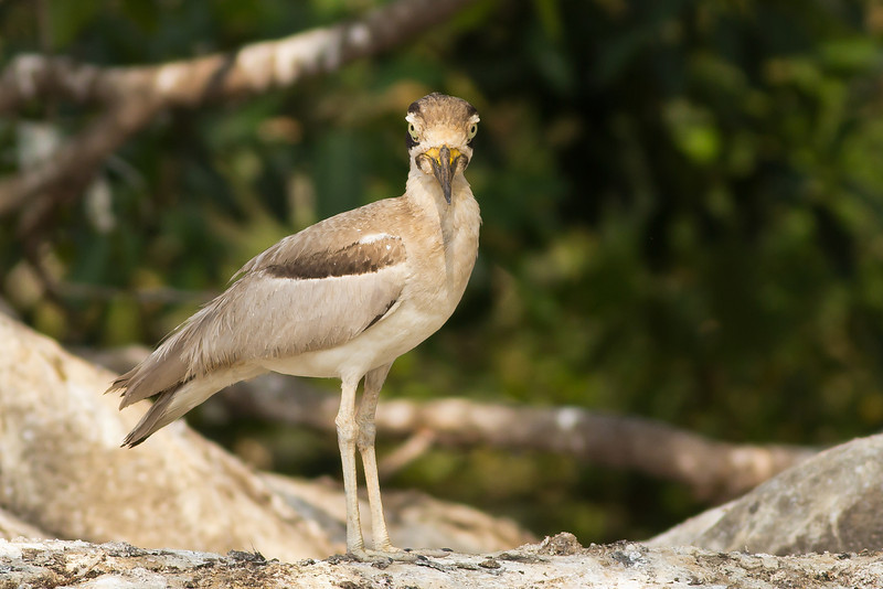 Great Plover