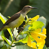 Purple Rumped Sunbird (female)