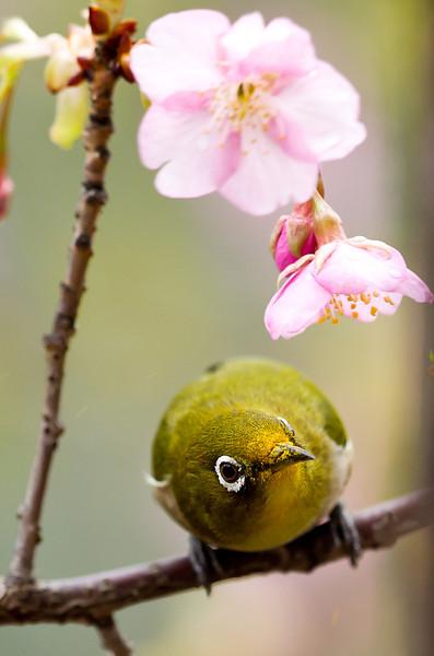 Japanese White Eye