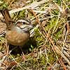 Siberian Meadow Bunting