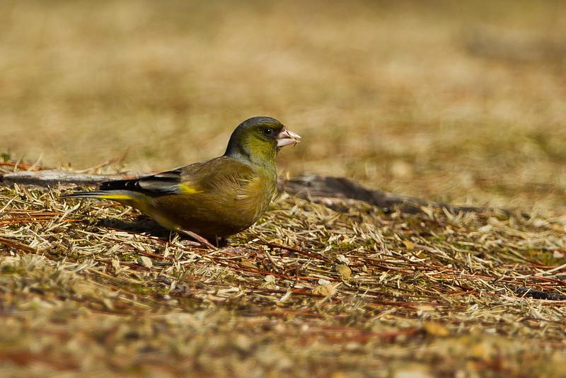 Japanese Greenfinch