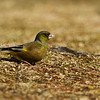 Japanese Greenfinch