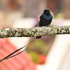 Lesser Racket Tailed Drongo
