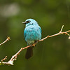 Verditer Flycatcher (male)