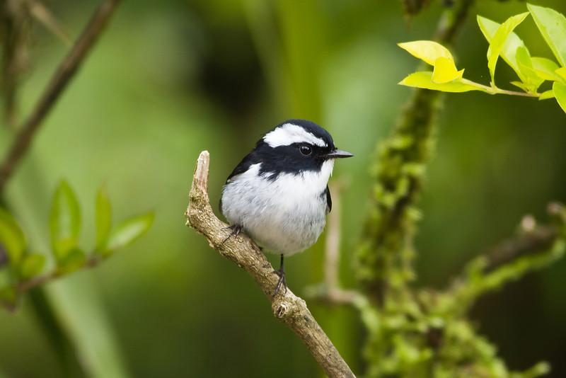 Little Pied Flycatcher (male)