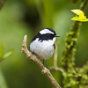 Little Pied Flycatcher (male)