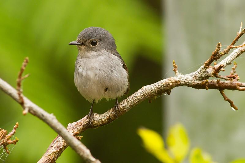 Little Pied Flycatcher (female)