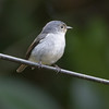 Little Pied Flycatcher (female)