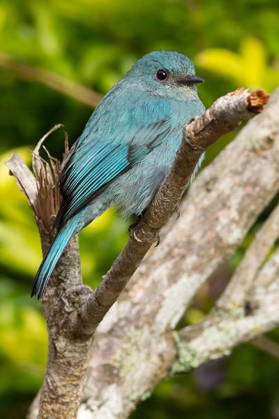 Verditer Flycatcher (female)