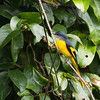 Grey Chinned Minivet (female)