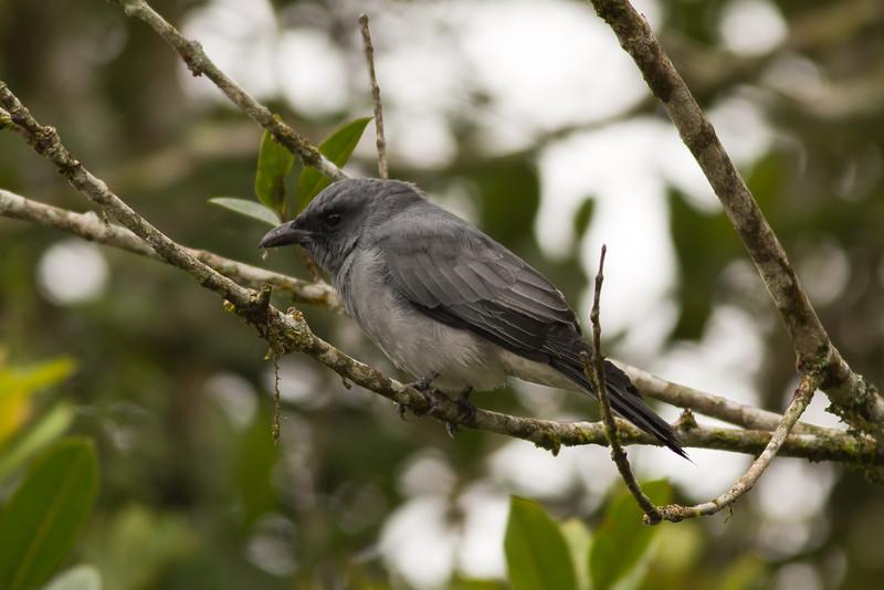 Malaysian Cuckoo Shrike