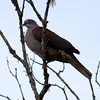Mountaim Imperial Pigeon