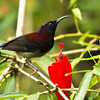 Black Throated Sunbird