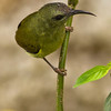 Black Throated Sunbird (female)