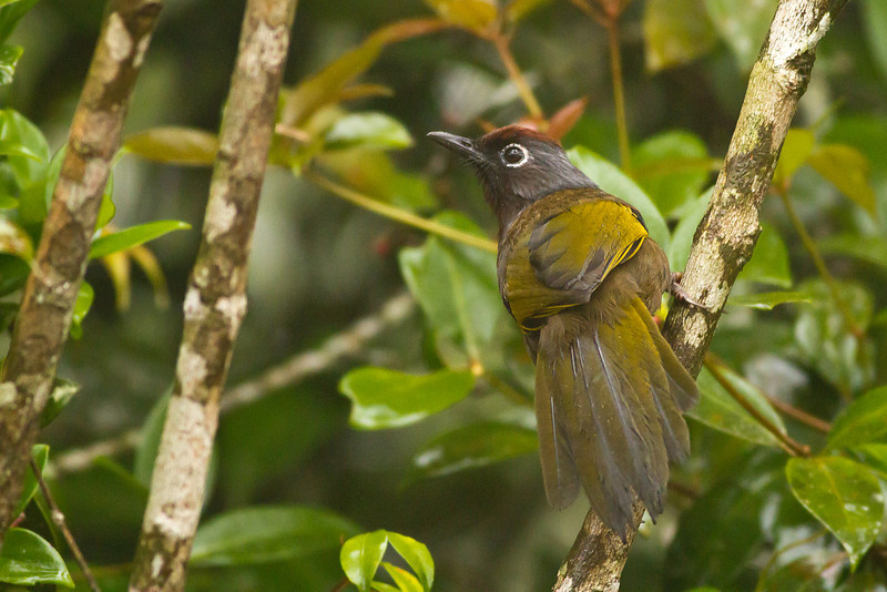 Chestnut Crowned Laughing Thrush