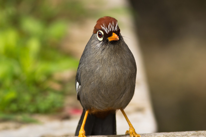 Chestnut Capped Laughing Thrush