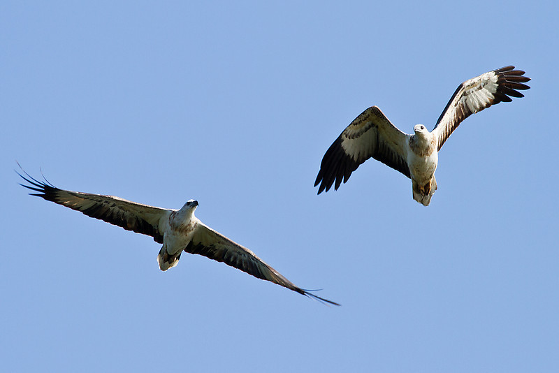 Two White Beliied Sea Eagles