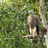 White Beliied Sea Eagle (juvenille)