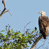 White Beliied Sea Eagle