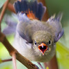 Crimson Backed Flowerpecker (juvenille)