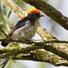 Crimson Backed Flowerpecker
