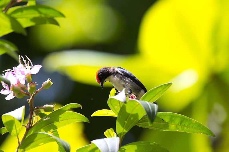 Crimson Backed Flowerpecker (one of my very first shots)