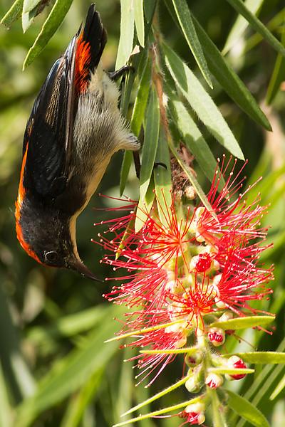 Crimson Backed Flowerpecker