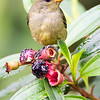 Crimson Backed Flowerpecker (female)