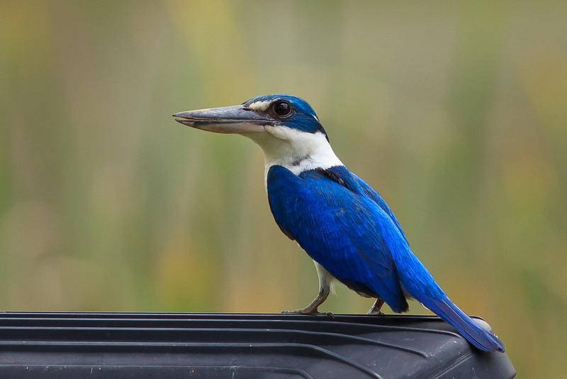 Collered Kingfisher