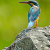 Common Kingfisher (female)