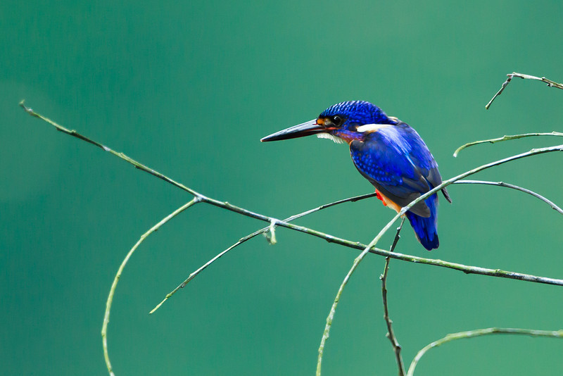 Blue Eared Kingfisher (male)