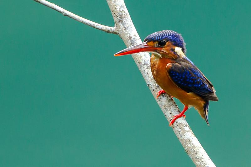 Blue Eared Kingfisher (female)