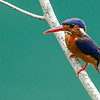 Blue Eared Kingfisher (female)