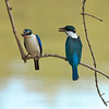 Collered Kingfishers