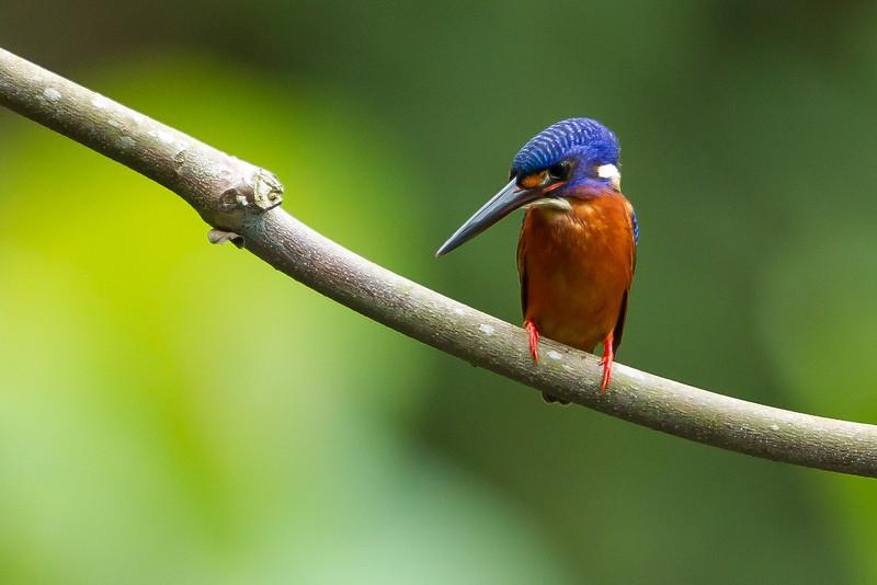 Blue Eared Kingfisher (male)