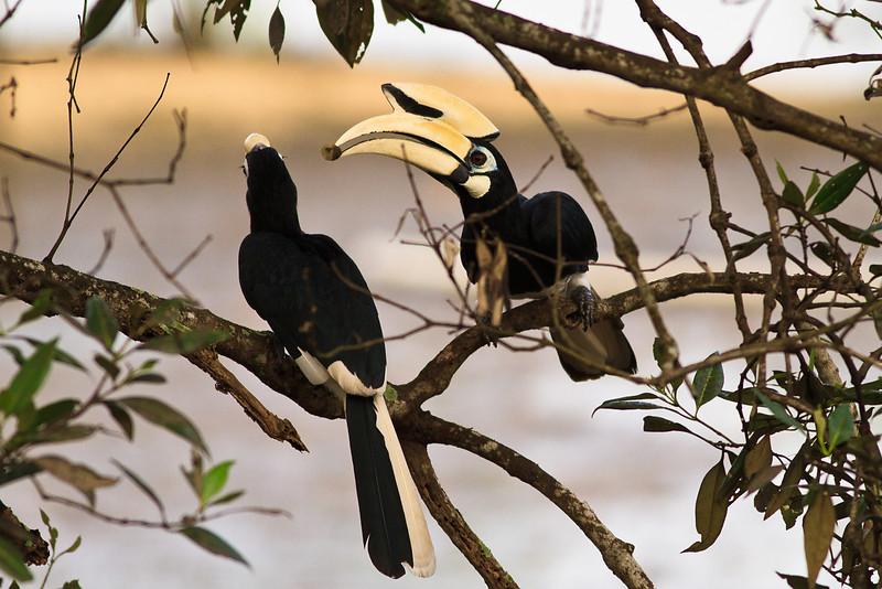 Pied Hornbills