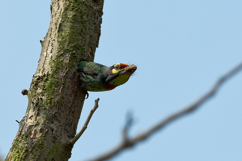 Coppersmith Barbet removing muck