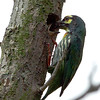 Coppersmith Barbet feeding young