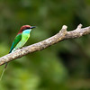 Blue Throated Bee Eater