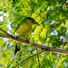 Common Iora (male)