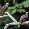 Straw Headed Bulbuls